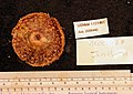 Echinoidea (USNM 1151461) 002.jpeg