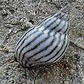 Echinolittorina ziczac 2.jpg