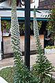Echium simplex k5.jpg