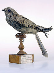 Egyptian Nightjar.jpg