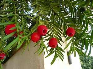 Leaves and aril of the European yew tree (Taxus baccata)