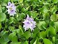 Eichhornia crassipes 8zz.jpg