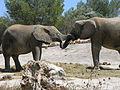 Elefants de la sabana.JPG