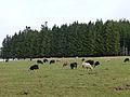 Elevage à Malplaquet (Bas-Rhin) (1).jpg