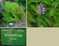Elsholtzia stauntonii