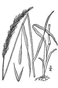 Elymus caninus