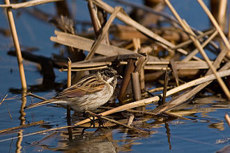 Common reed bunting - Image: Emberiza Schoeniclus Natural Habitat
