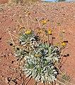 Enceliopsis argophylla 5.jpg