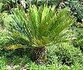 Encephalartos senticosus, habitus, Walter Sisulu NBT.jpg