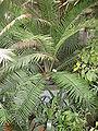 Encephalartos villosus Lehm..JPG