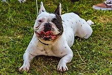 French Bulldog - Wikipedia