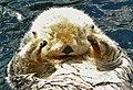 Enhydra lutris asleep 3.jpg