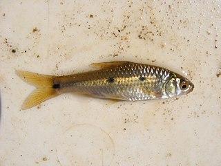 Threespot barb Species of fish