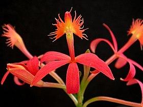HOA GIEO TỨ TUYỆT 2 - Page 3 280px-Epidendrum_cinnabarinum_06