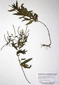 Epilobium ciliatum ssp. ciliatum BW-1979-0914-0455.jpg