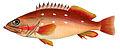 Epinephelus fasciatus Brevoort2.jpg