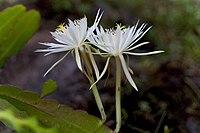 Epiphyllum hookeri96449466