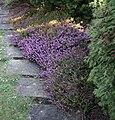 Erica carnea vresovec01.jpg