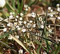 Eriophila verna 230303.jpg