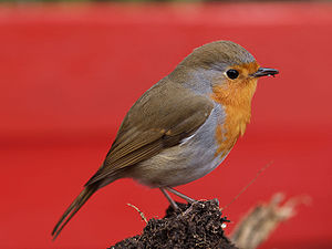 Bird vision - The European robin has relatively large eyes, and starts to sing early in the morning.