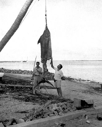 "The Old Man and the Sea - Ernest Hemingway and Henry (""Mike"") Strater with the remaining 500 lbs of an estimated 1000 lb marlin that was half-eaten by sharks before it could be landed in the Bahamas in 1935. See Pilar for details of this episode."