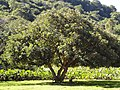 Erythrina caffra, KZN NBT, a.jpg