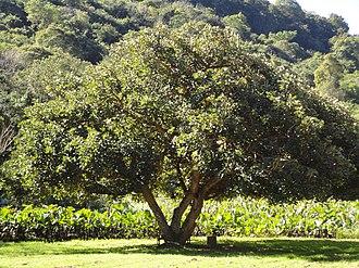 Erythrina caffra - Growth habit of a mature tree