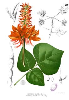 Dadap, Erythrina variegata.Lukisan menurut Blanco.