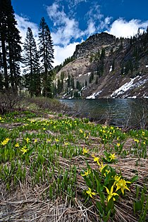 Erythronium montanum at Sky High Lakes (8756095009).jpg