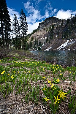 Erythronium montanum at Sky High Lakes (8756095009).jpg