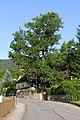 Esche in Mühldorf 2014-07 NÖ-Naturdenkmal KR-079.jpg