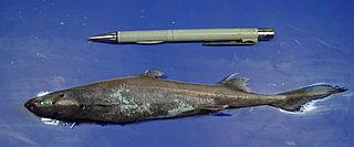 Caribbean lanternshark species of fish