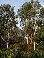Eucalyptus New Digha 0038.JPG