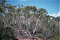 Eucalyptus lehmannii.jpg