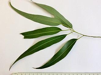 Eucalyptus propinqua - Image: Eucalyptus propinqua adult leaves