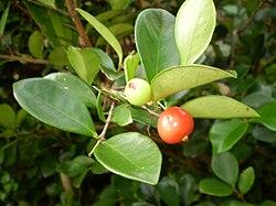Tanaman Beach Cherry (Eugenia Reinwardtiana)