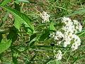 Eupatorium perfoliatum 1 (5097903790).jpg