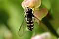 Eupeodes.corollae2.-.lindsey.jpg