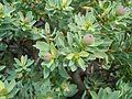 Euphorbia balsamifera Lazaorote Jameos del agua.JPG