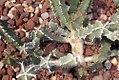 Euphorbia coerulescens 0zz.jpg