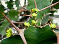 Euphorbia grandicornis (1).jpg