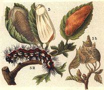 Euproctis chrysorrhoea ugglan.jpg
