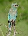 Eurasian Roller (Coracias garrulus semenowi) (16332307848).jpg