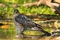 Eurasian Sparrowhawk male - Castelletto Merli - Italy FJ0A2498 (43767635455).jpg