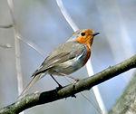 European Robin aka.jpg