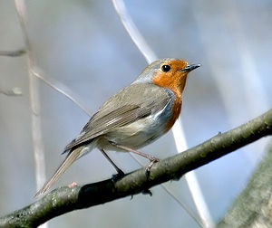 This image shows an European Robin (Erithacus ...