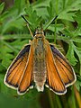 European Skipper (Thymelicus lineola) - Guelph, Ontario 06.jpg