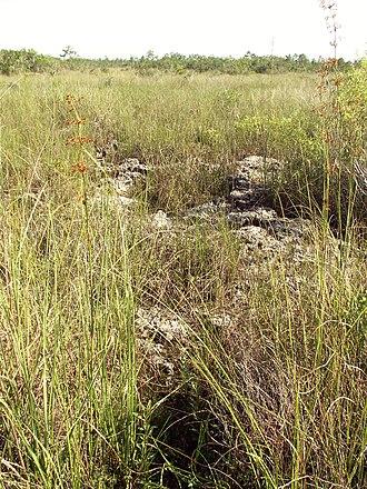 Everglades - Uneven limestone formations in an Everglades sawgrass prairie