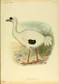 Extinctbirds1907 P25A Didus solitarius0339.png