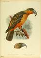 Extinctbirds1907 P6 Nestor productus0293.png